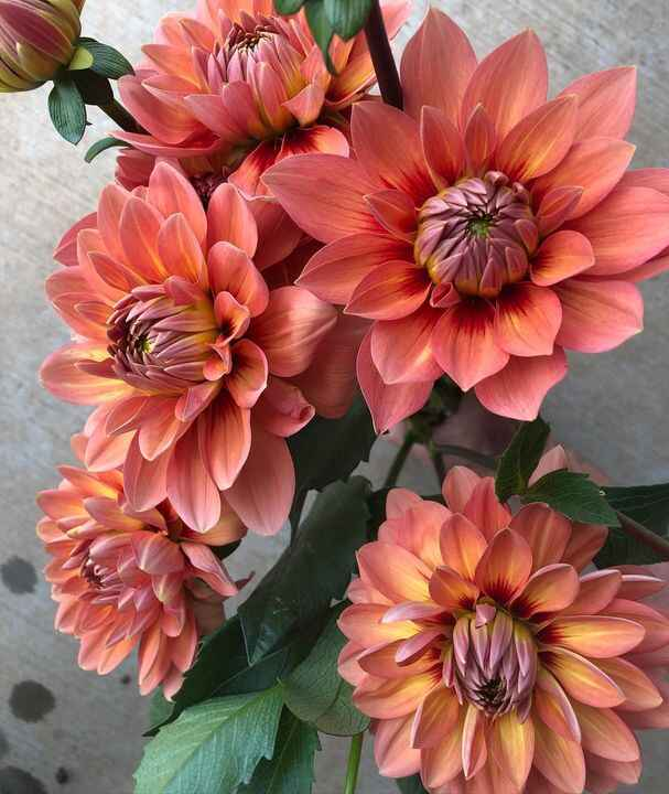 Nicholas, if it weren't for you we would not grow dahlias.  You are a dahlia rockstar, but you could you pick up the pac...